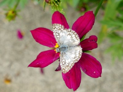 Orcus Checkered Skipper (Pyrgus orcus)