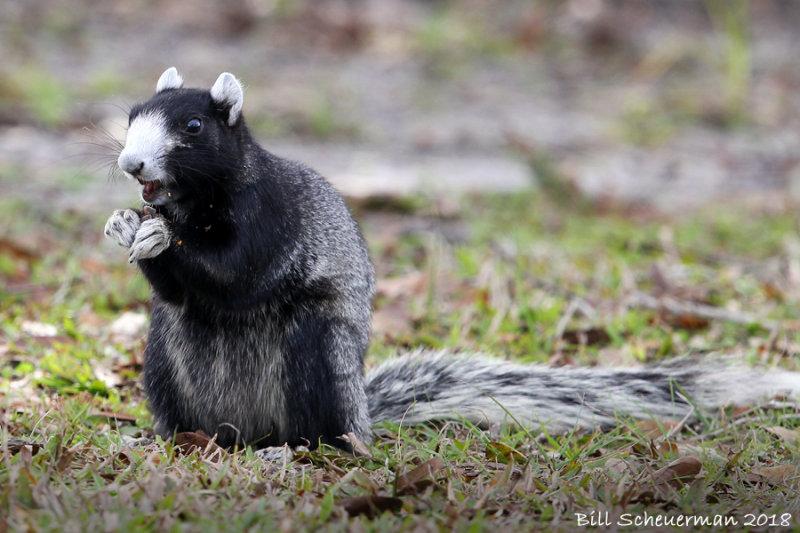 Florida (Shermans)Fox Squirrel