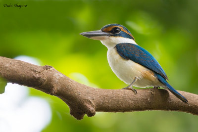 Pacific (Collared) Kingfisher