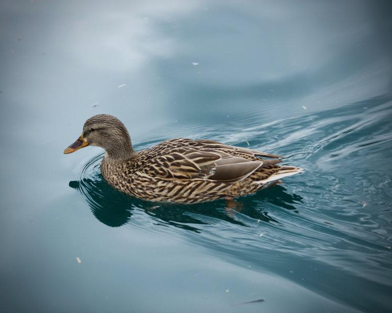 Riparian Preserve : Do ducks contemplate?