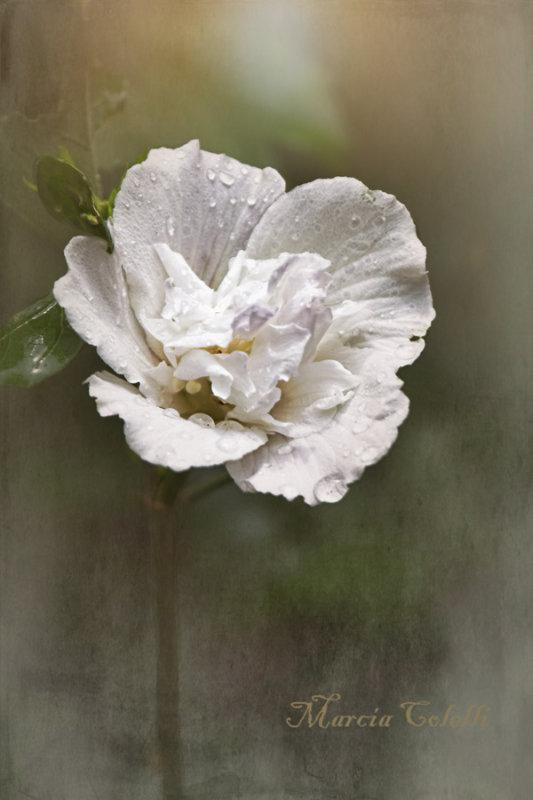 ROSE OF SHARON_1999.jpg