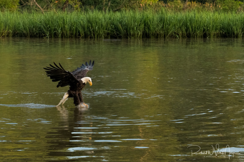 Eagle Catching