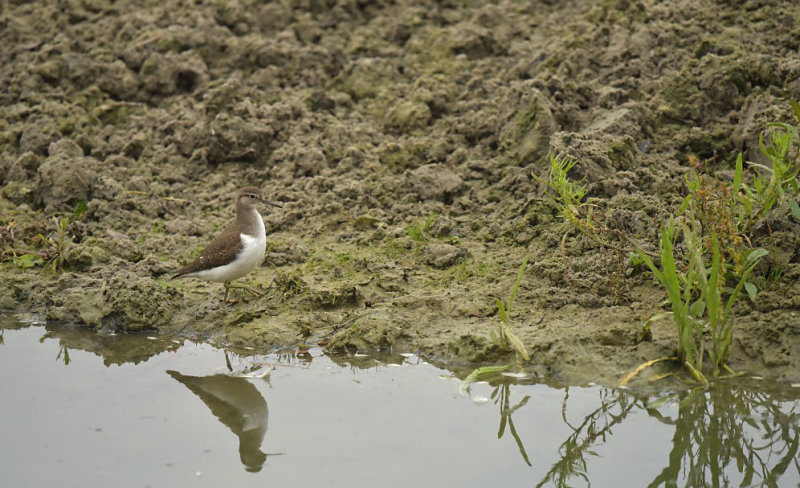Oeverloper / Common Sandpiper (de Oelemars)
