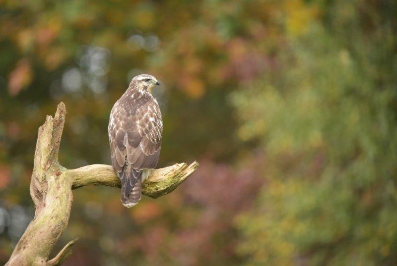 Buizerd / Common Buzzard (Rijssen - Hut Arjan Troost)