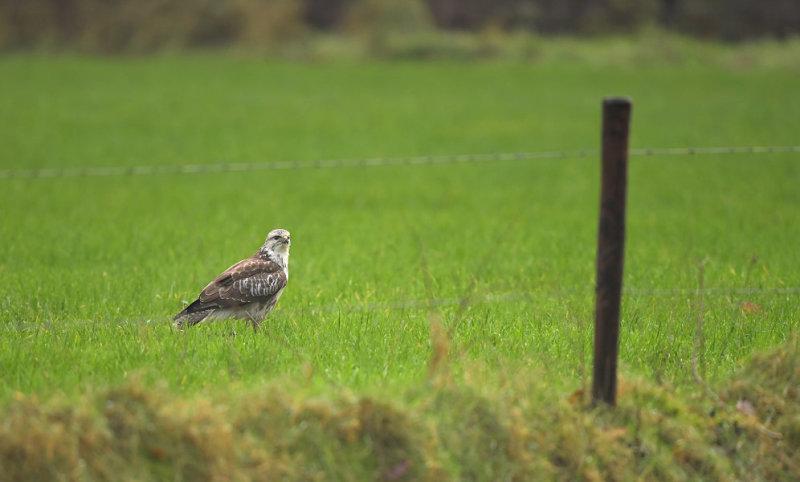 Buizerd / Common Buzzard (Hengelo)