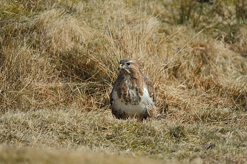 Buizerd / Common Buzzard (Ameland-Hollum)