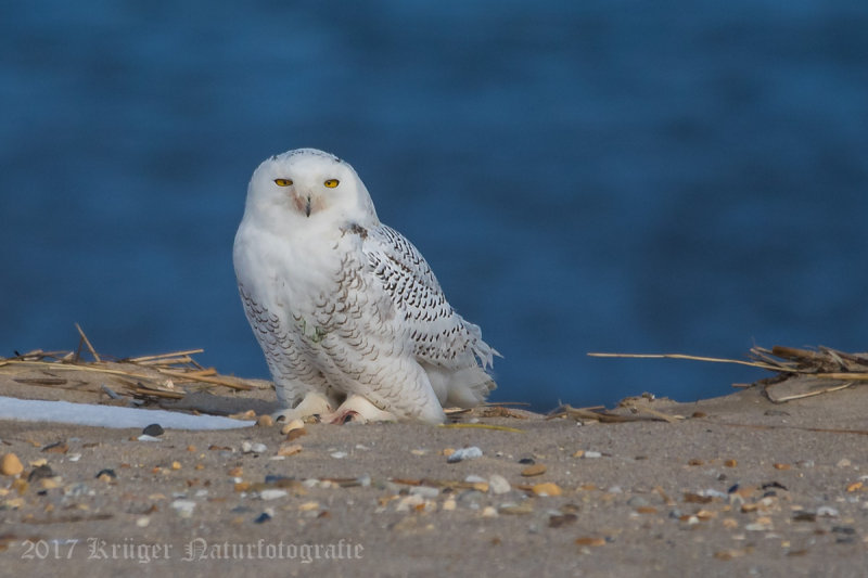 Snowy Owl (young male)-5470.jpg
