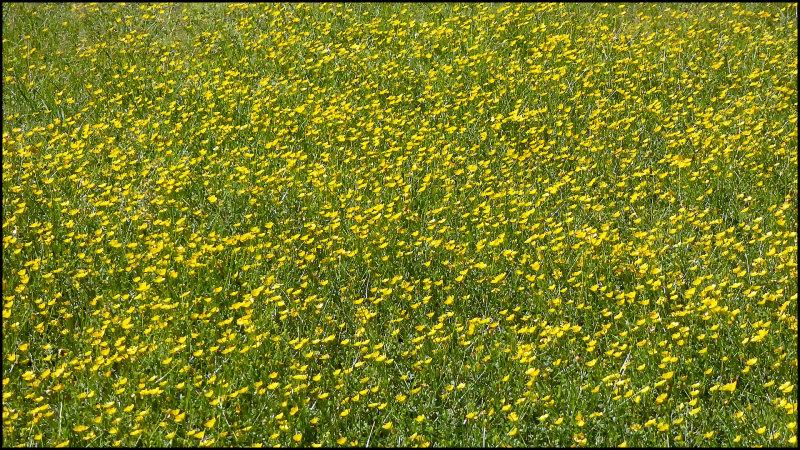 A Sea of Buttercups