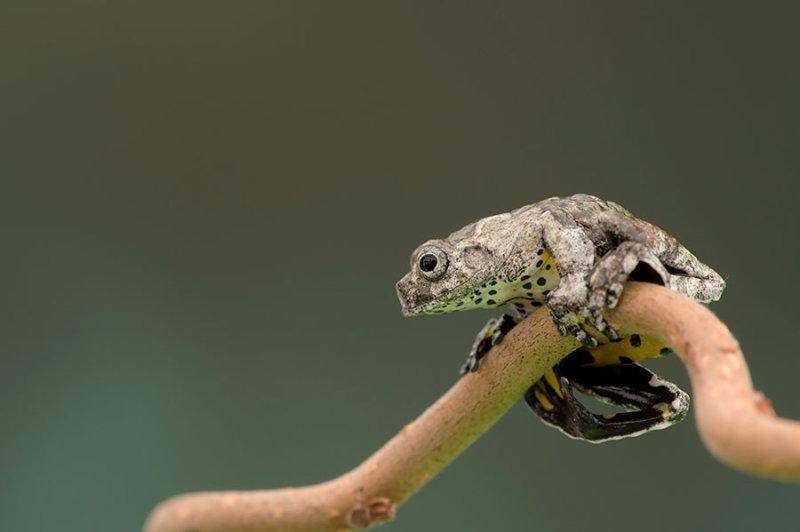 D4S_0414F vogelpoepkikkertje (Dendrosophus marmoratus).jpg