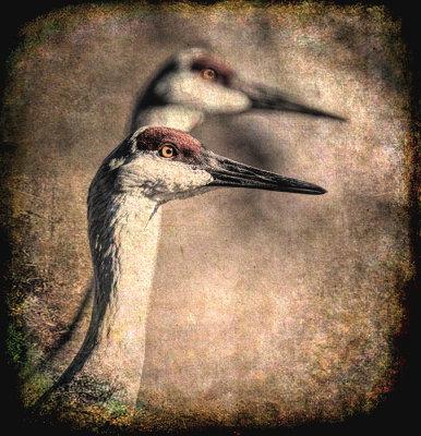 Elder Sandhill Cranes