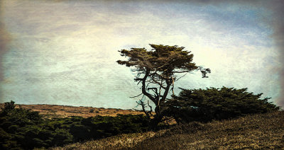 Coastal Cypress, Pt. Reyes Nat'l Seashore