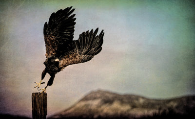 Harris' Hawk, Bosque del Apache