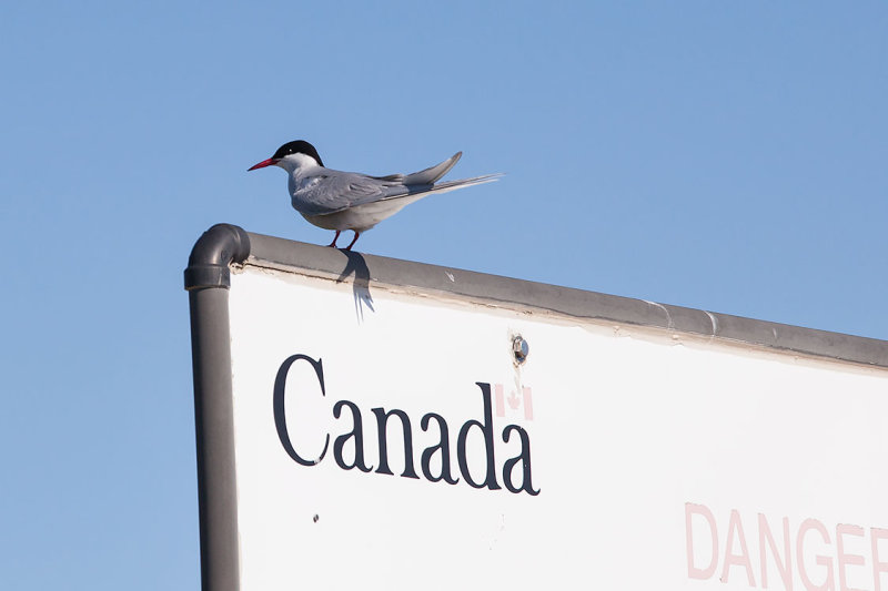 This Tern say the island is Canadian!