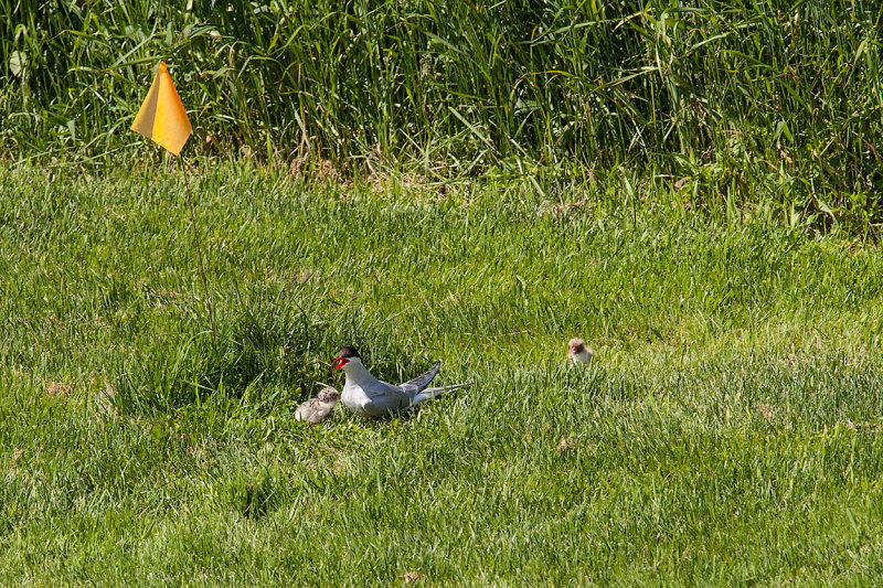 Arctic Tern with chicks