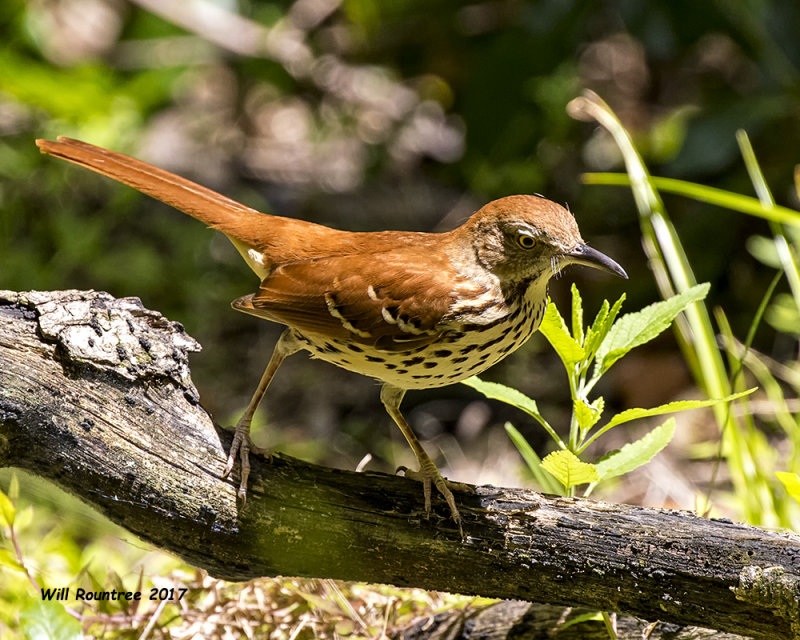 5F1A0312 Brown Thrasher LC.jpg