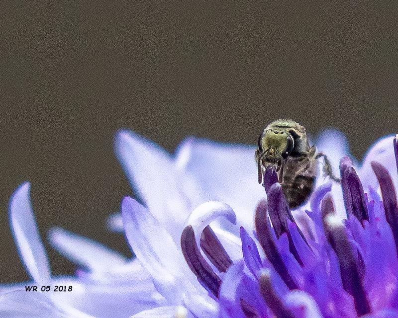 5F1A8110_tiny_bee.jpg