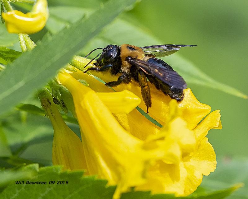 5F1A3727_Eastern_Carpenter_Bee_.jpg