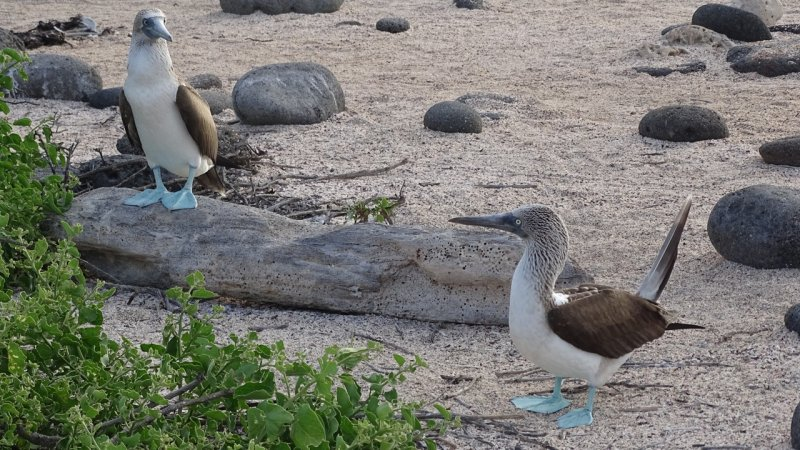 Blue Footed Boobies getting ready for a courtship dance