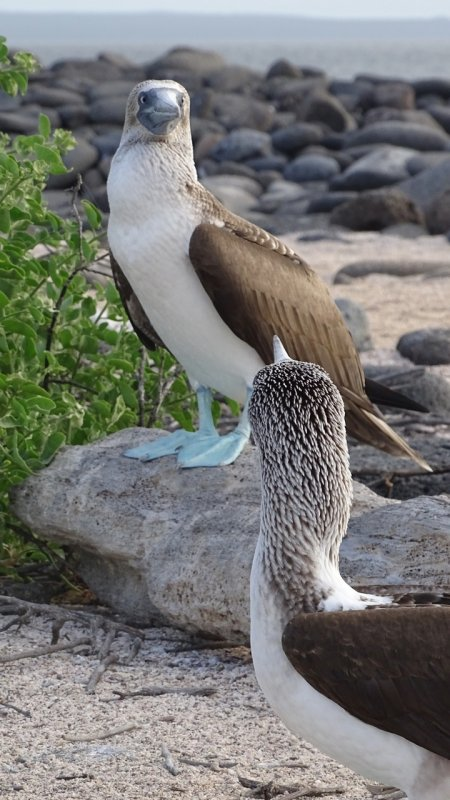 Blue Footed Boobies checking each other out