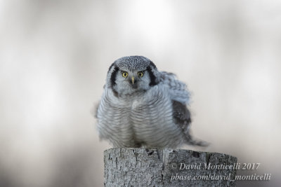 Northern Hawk Owl (Surnia ulula)_Skane (Sweden)