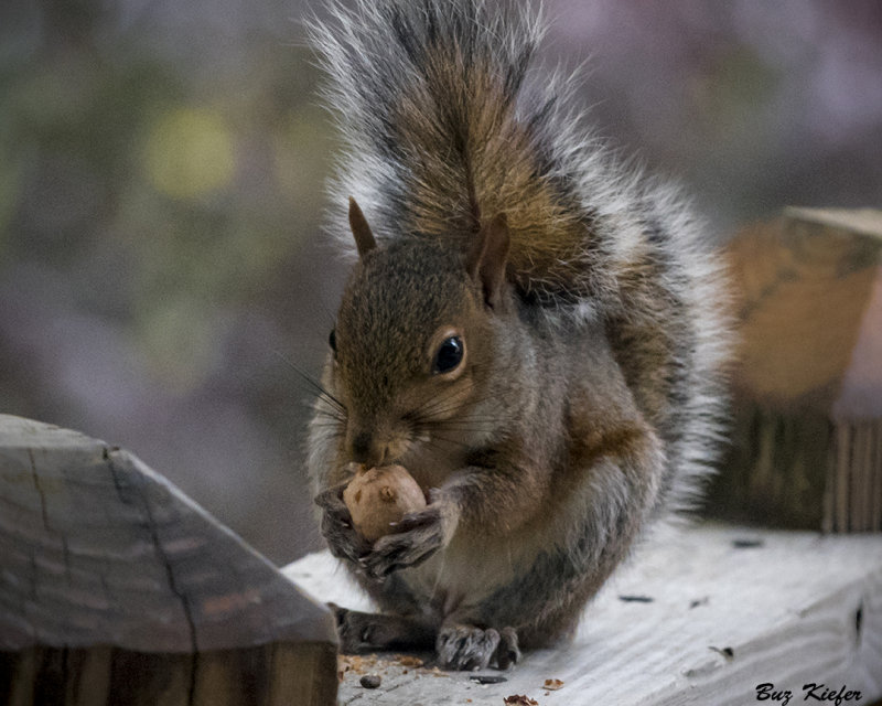 Squirrel On Deck With Hickory Nut Photo