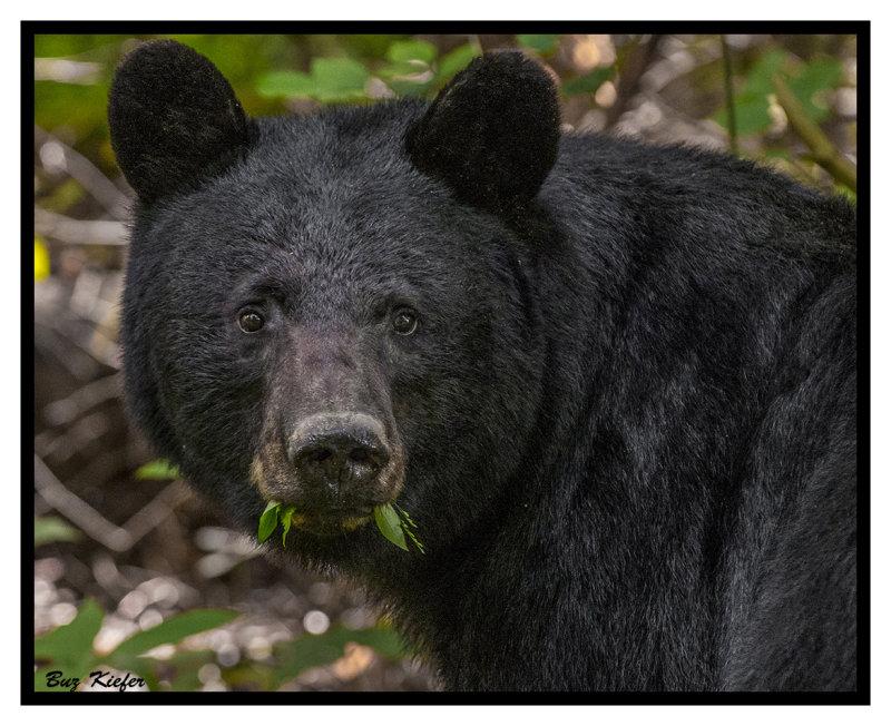 Black Bear in Late Spring