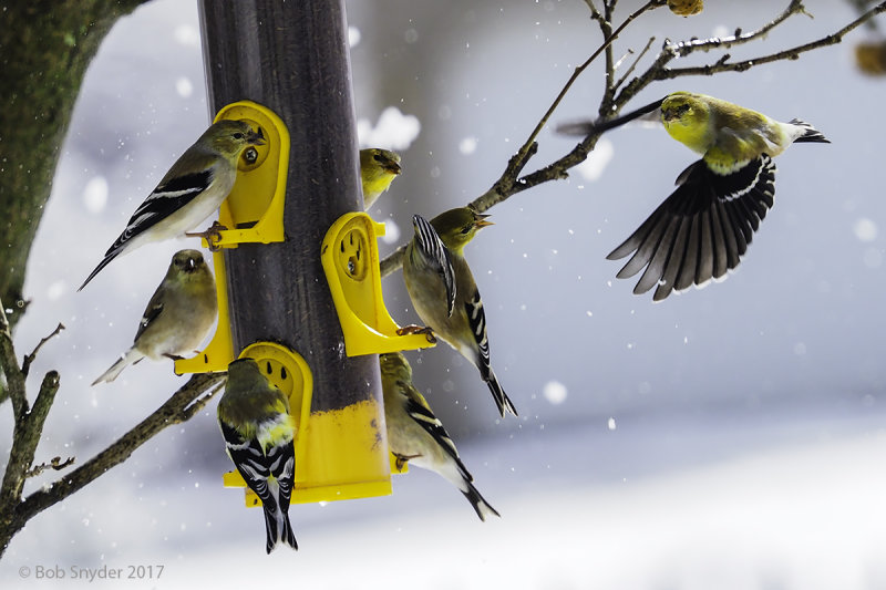 American Goldfinches at nyjer feeder