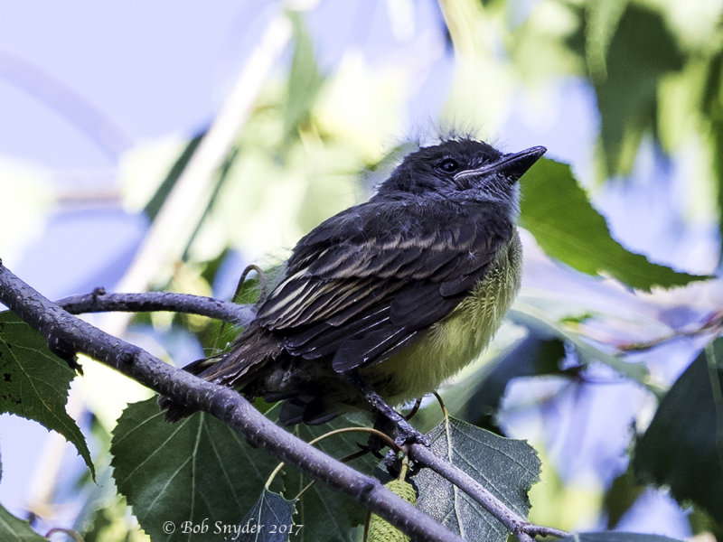 Great Crested Flycatcher fledgling, Day 1 out of the nest