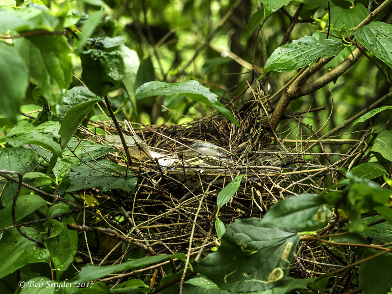 Gray Catbird nest in lilac: nest found after fledglings gone