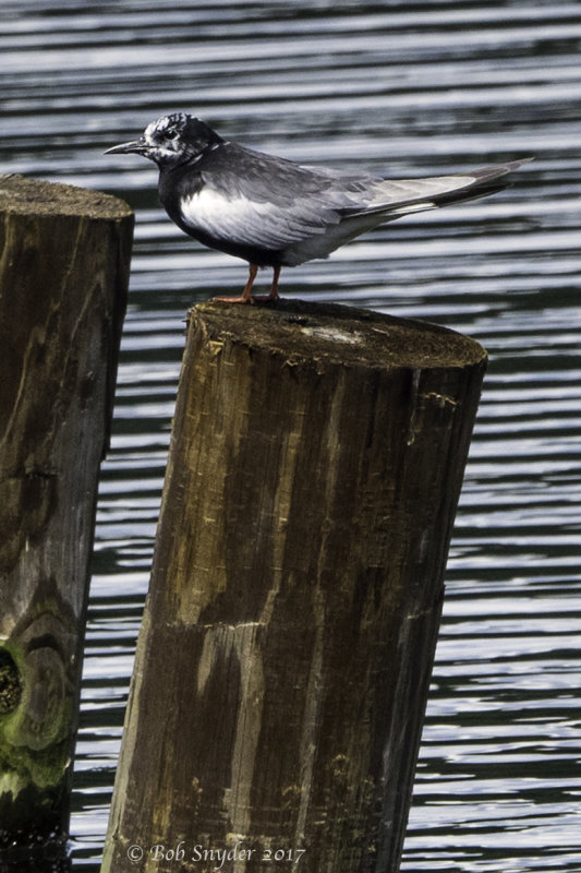 White-winged tern on pilings near shore