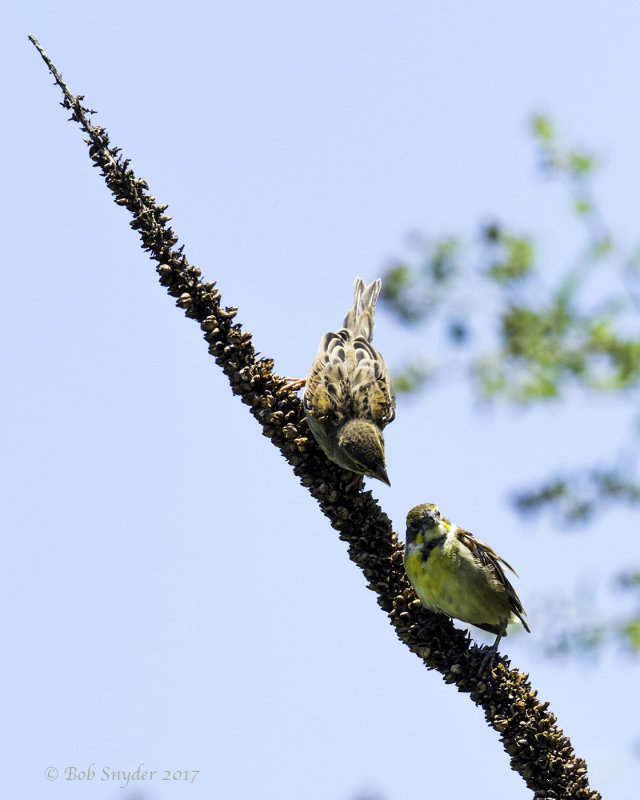 Dickcissel female and fledgling