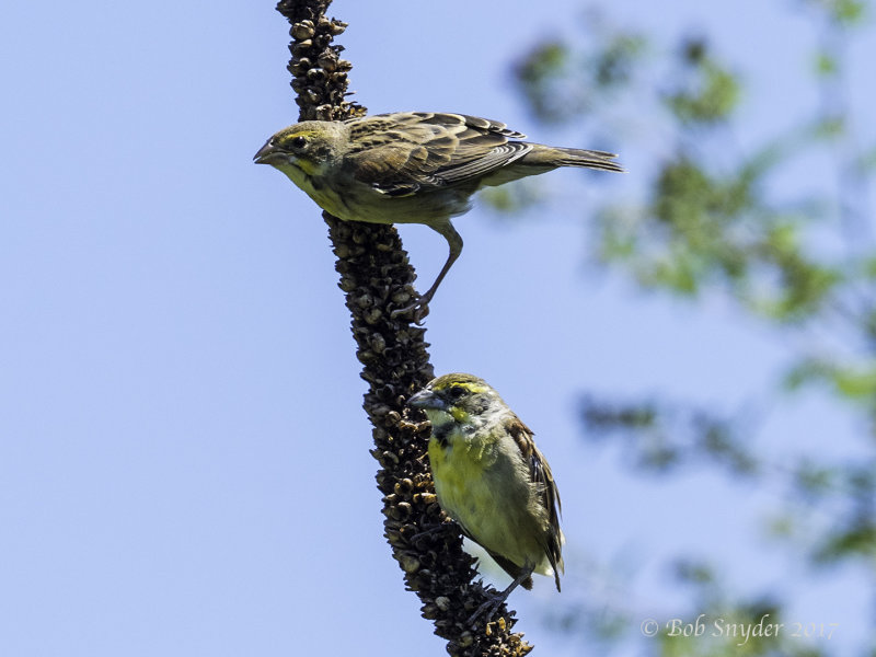 Dickcissel and fledgling male on mullein