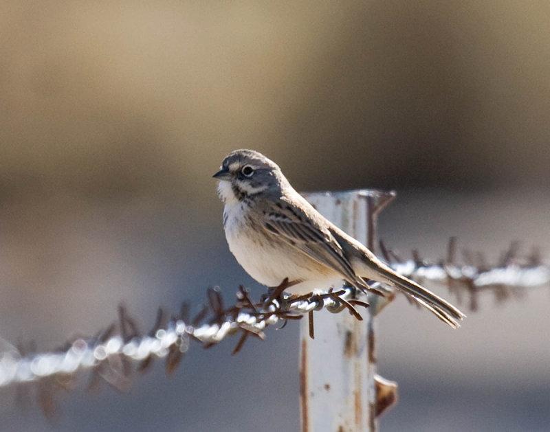 Bells Sparrow