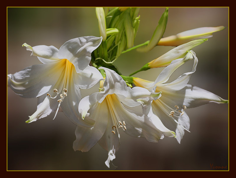 The Belladonna Lily, cream