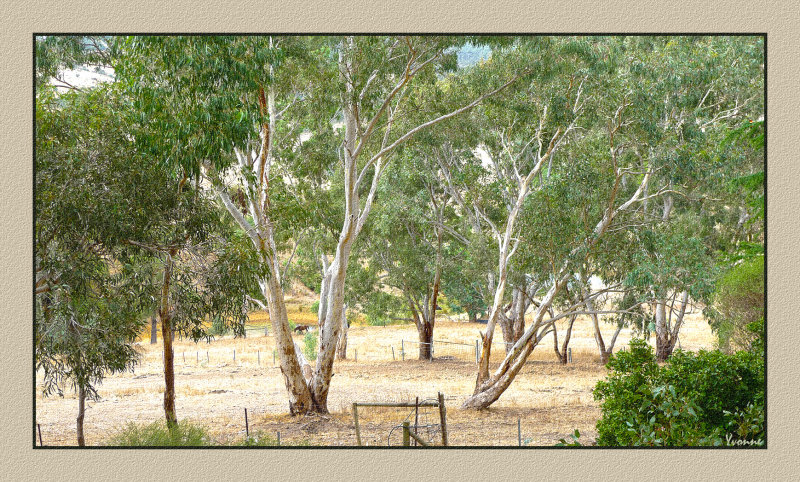 Our gum  trees