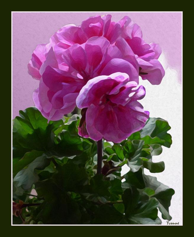 The pink pelargonium