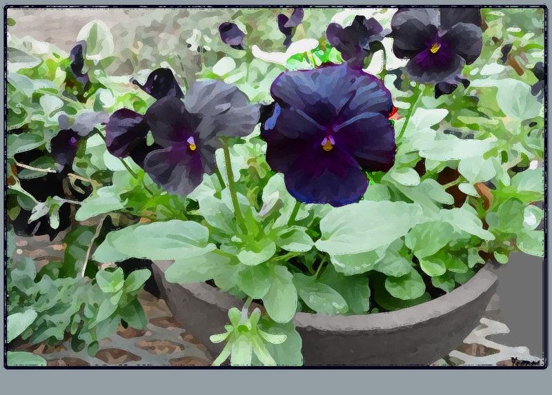 Black Violas in a pot