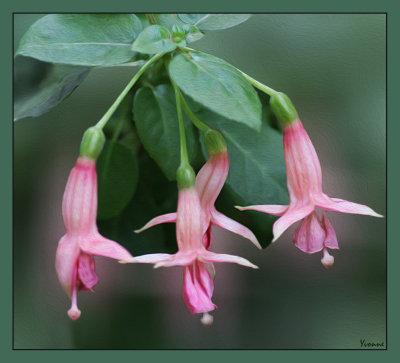 Tiny pink fuchsia