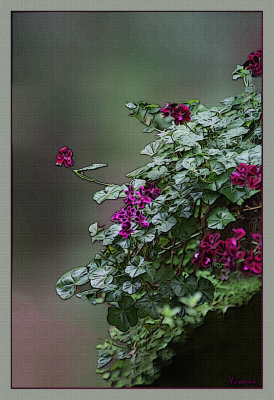 Ivy Pelargonium