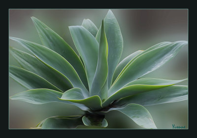 Agave in the Gazebo