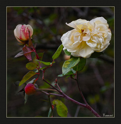 Winter flowering rose