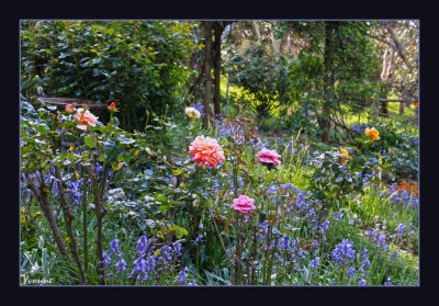 Bluebells and Roses