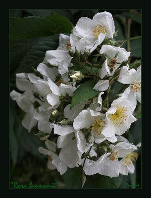 Rosa brunonii The Himalayan Musk.
