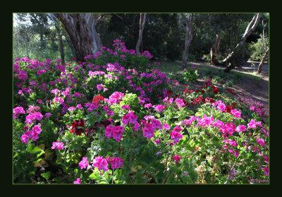 Pelargonium patch