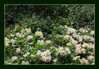 Alstroemeria and campanula carpeting the roses.