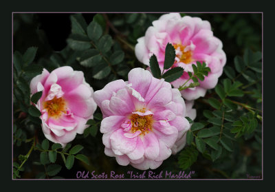 Irish Rich Marbled an old Scots rose.