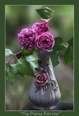 The rose called Deane Ross