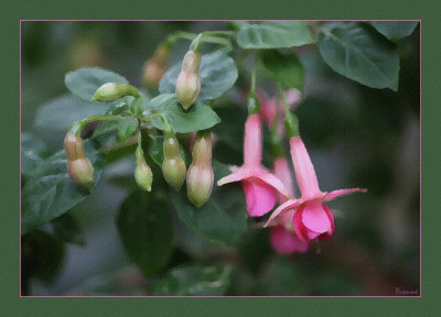 More fuchsias.