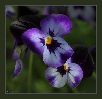 Violas, another colour
