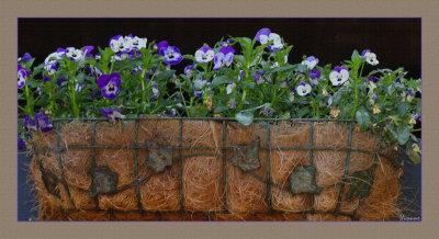 Violas in baskets